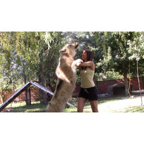 Perro Lobo Americano 75 A 90%+ (resto Ovejero Alemán Blanco)