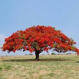 Mudas De Flamboyant Vermelho