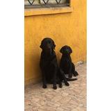 Labrador Puro Negro De 3 Meses Con Vacunas Al Día, 90 Mil