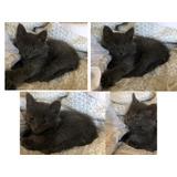 Regalo O Adopcion De Gatito Azul