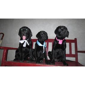 Hermosos Cachorritos Labrador Machos Hembra Negro Raza Pura