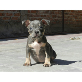 American Bully Tricolores