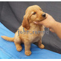 Cachorras Golden Retriever