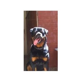 Criadero Mis Retoños: Cachorros Rottweiler 45 Días