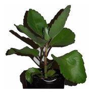 Kalanchoe Pinnata Original Medicinal (bryophyllum Pinnatum)