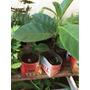 Muda De Jaca (artocarpus Heterophyllus)