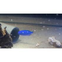 Pez Marino Damisela Azul