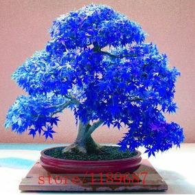 20 Sementes Rara De Arvores Bonsai Bordo Azul Fanstasma