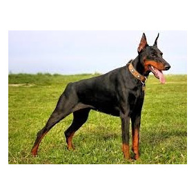 Doberman Cachorros De Primera