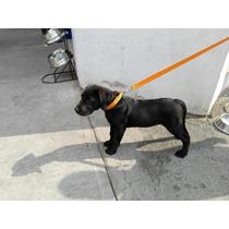 Collar Con Correa Labrador Cachorro