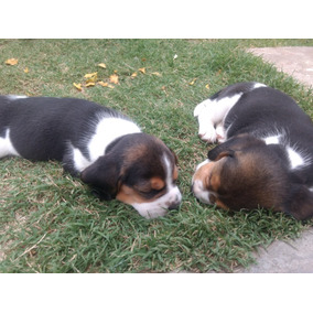 Cachorros Beagles Tricolor