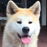 Macho Akita Inu Inscrito Disponible Para Cruza