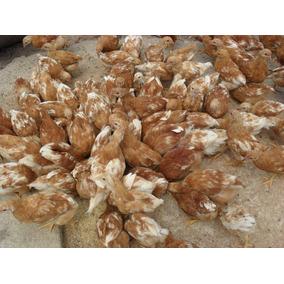 Pollas Coloradas 55 Pesos