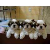Cachorros Shih Tzu Imperial