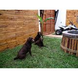 Cachorros Labradores Retrievers