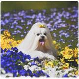3drose Usa, California Maltese Lying In Flowers W -amarillo