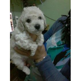 Vendo Filhotes Vacinados E Vermifugado Poodle Micro Toy Entr