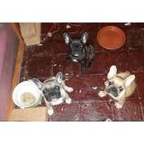 Bulldog Frances Cachorros Machos Y Hembras