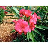 Plantines De Laurel De Flor Roja