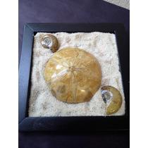 ++ Adorno Arenero, Cuarzo, Ammonite, Dolar De Arena