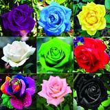 Rosa Cores Raras E Variadas Arco-íris, Negra 45 Sementes