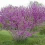 Cercis Chinensis - Árbol De Judea Arbustivo - Cañuelas