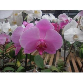 Orquídeas Phalaenopsis. 9,00 A Unidade.