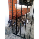Cachorro En Adopción Cruza De Galgo