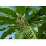 Banano Platano Bananero Planta De Banana