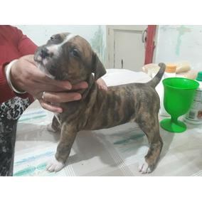 Cachorra Pitbull Exelente Porte!