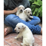 Hermosos Labrador Blancos