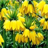 12 Sementes De Coroa Imperial Amarela Para Mudas - Flor