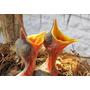 Hormônio Natural De Crescimento Pássaro Filhote Filhotão