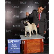 Pug Extraordinario Macho Paria Maquilas. Campeon Mexicano