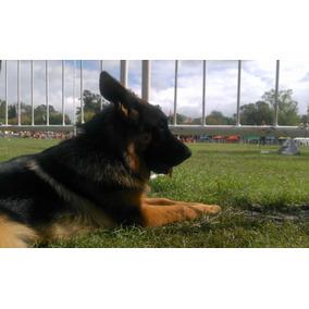 Por Seña: Cachorros Ovejero Aleman Con Pedigre Poa