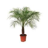 25 Sementes De Palmeira Fenix