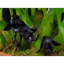 10 Sementes Da Linda Orquídea Negra - Raras E Lindas