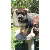 Perros Cachorros Pastor Alemán