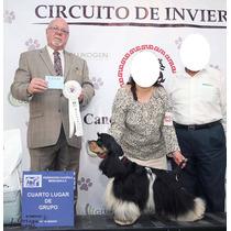 Cocker Spaniel Americano Campeón Mexicano Inseminación