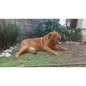 Dogo De Burdeos, Se Alquila Semental Multicampeón,