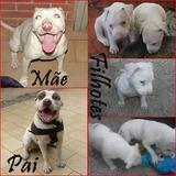 Americam Pit Bull Terrier Filhotes