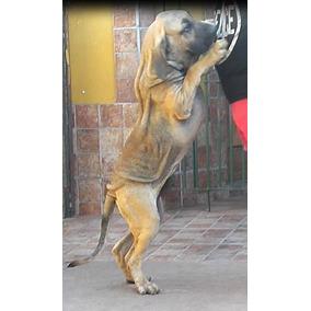 Fila Brasilero. Cachorros Fotos Reales.