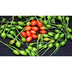 Chile Piquin (planta ) Capsicum