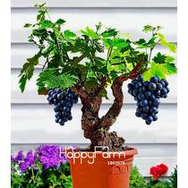 Sementes De Uva Videira Bonsai 12 Sementes De Mini Pé De Uva