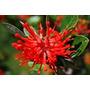 Espectaculares Árboles De Notro, Flores Rojo Fuego!!!