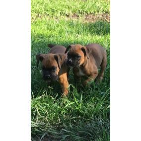 Cachorros Boxer Imperdibles!!!!!!!!!!