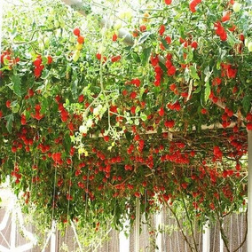 200 Sementes Tomate Arvore Japones Ou Ingles