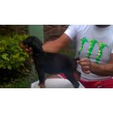 Cachorros Doberman Con Pedigree Internacional