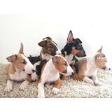 Cachorros Bull Terrier Ingles Pedigree Azul Fcm