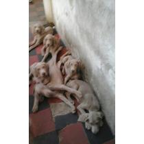 Cachorros Waimaraner